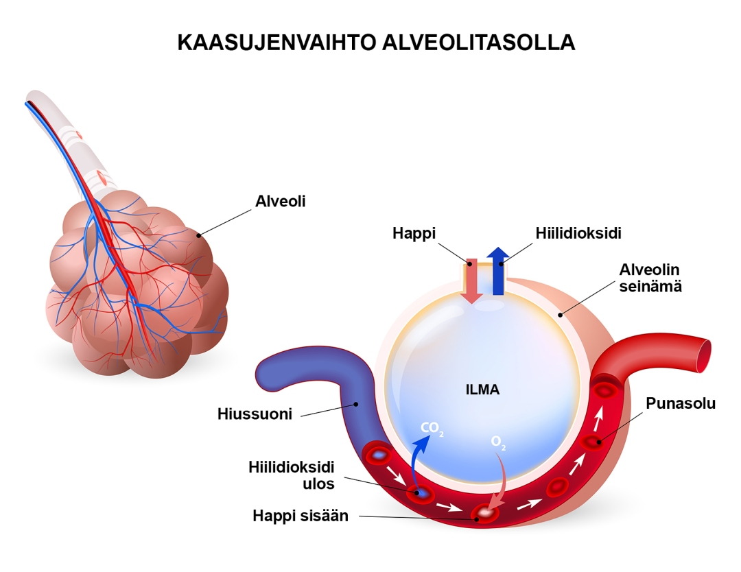 Kaasujenvaihto alveolitasolla